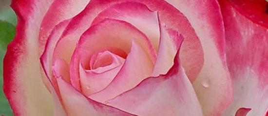 Primavera fioriscono le Rose al Vivaio Le Rose di Scandicci